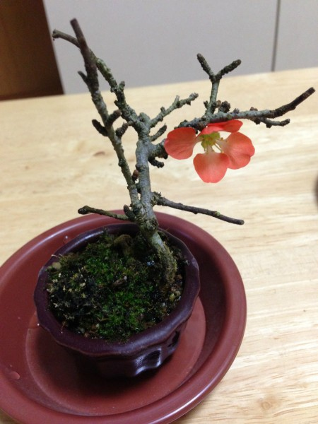 sirabee_bonsai_88