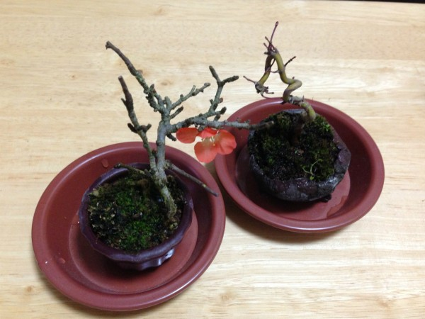 sirabee_bonsai_14685