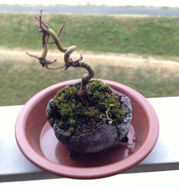 bonsai_sirabee_32