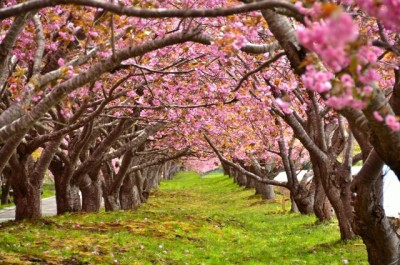 しらべぇ0228桜