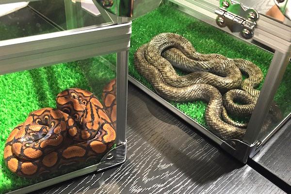 蛇カフェコンパニオン