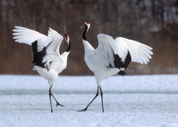 Japanese crane courtship dance