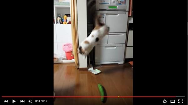 猫キュウリ動画