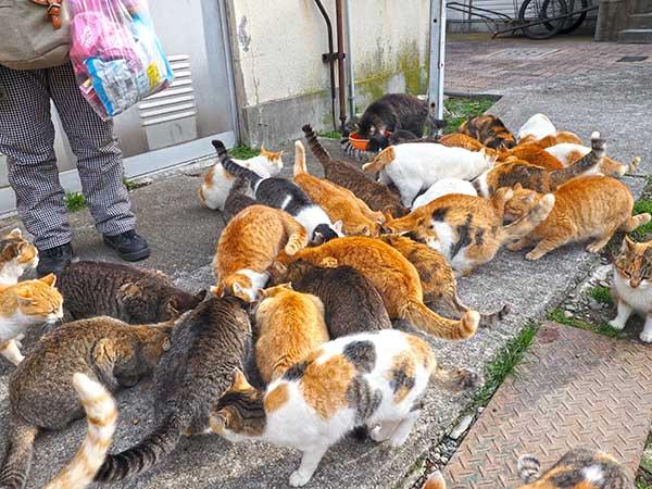 指定のエサやり場所に集まる青島のネコ