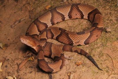 マムシ/毒蛇