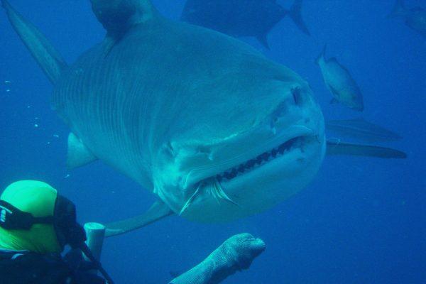 イタチザメ/サメ