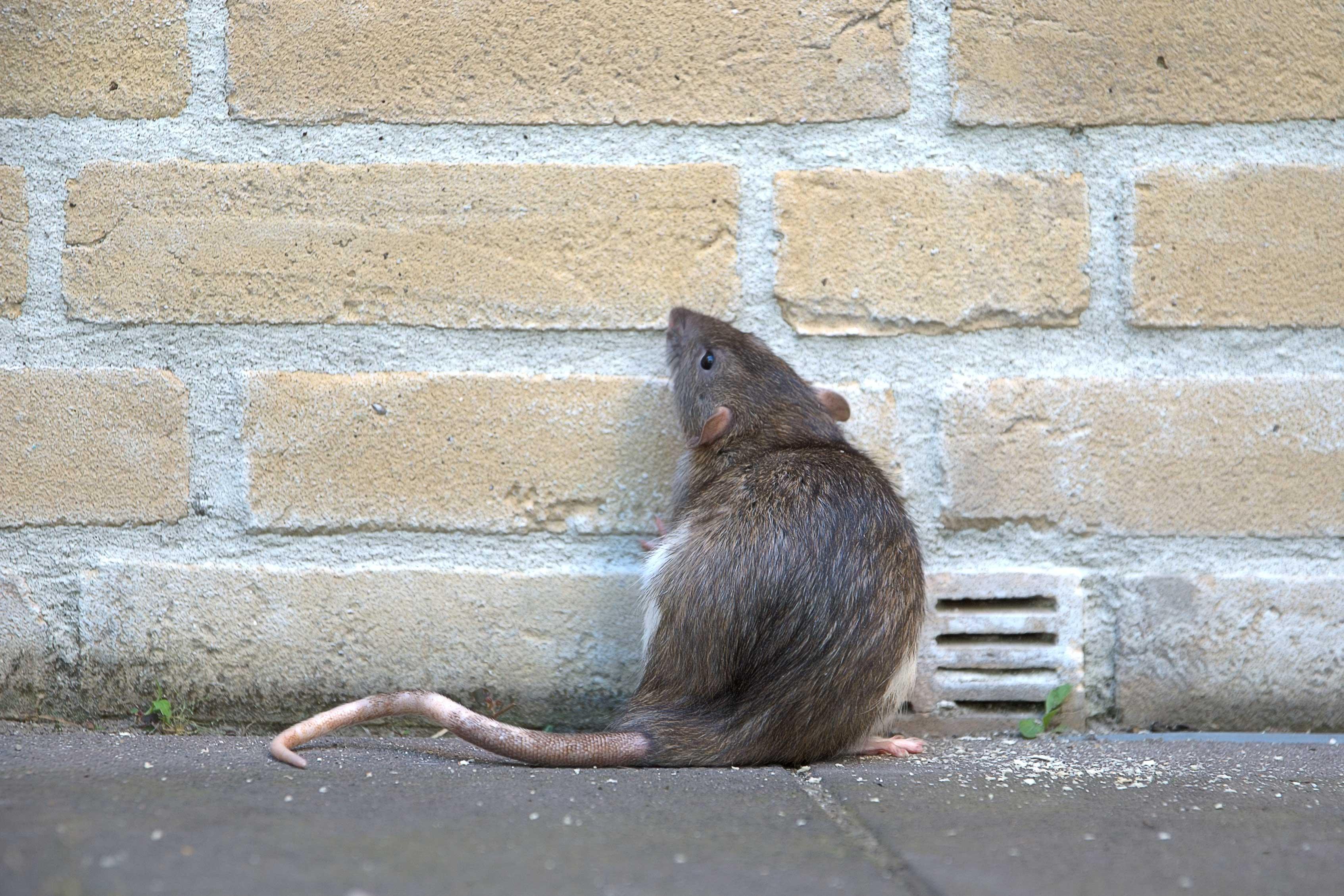 都会のネズミ