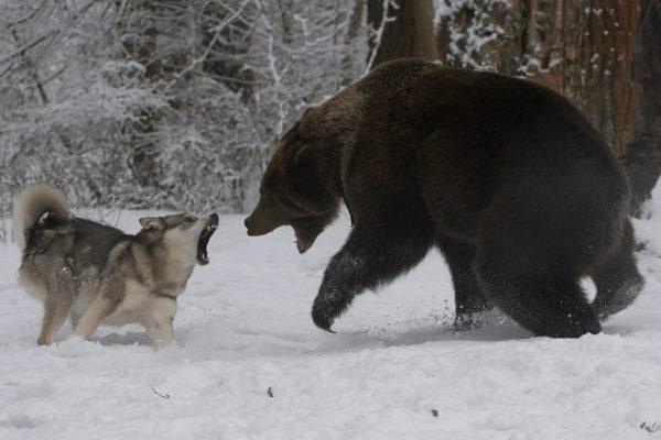 クマ・犬・狩猟