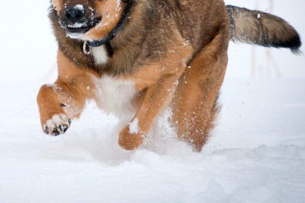 「雪に埋もれた飼い主を助けたい」 救出に貢献した賢いヒーロー犬が話題に