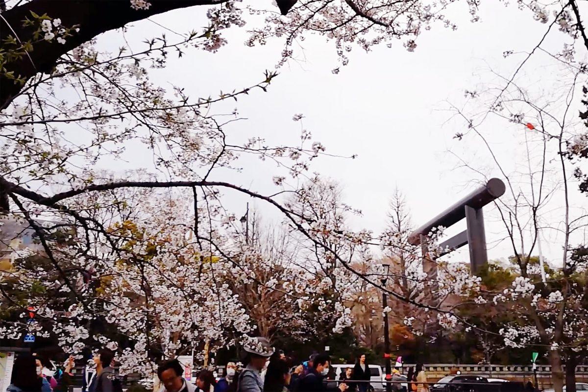 桜・靖国神社