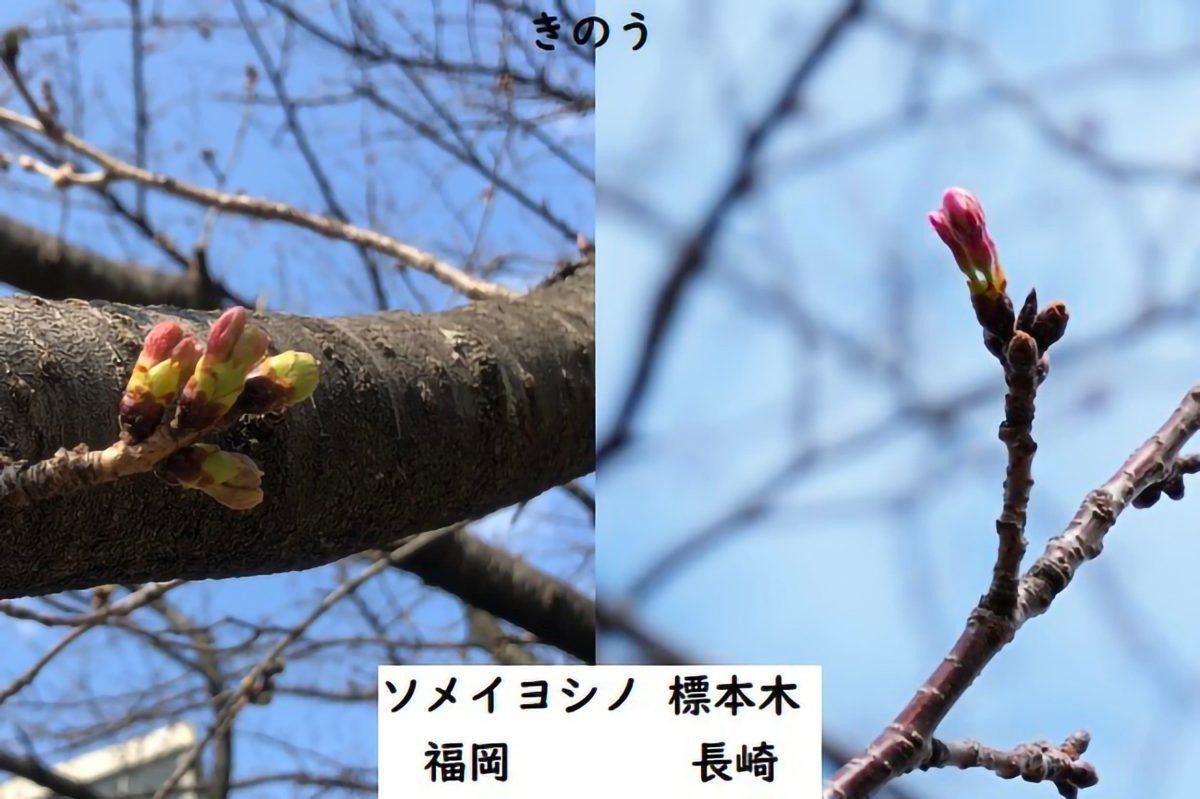 ソメイヨシノ標本木