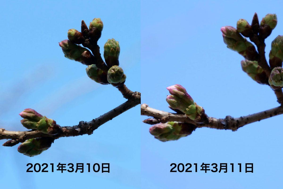 靖国神社・桜・ソメイヨシノ・標本木