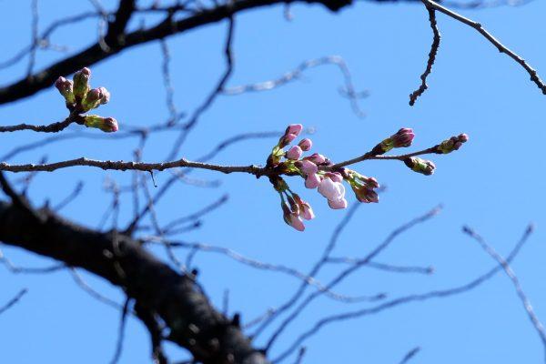 桜・靖国神社・ソメイヨシノ