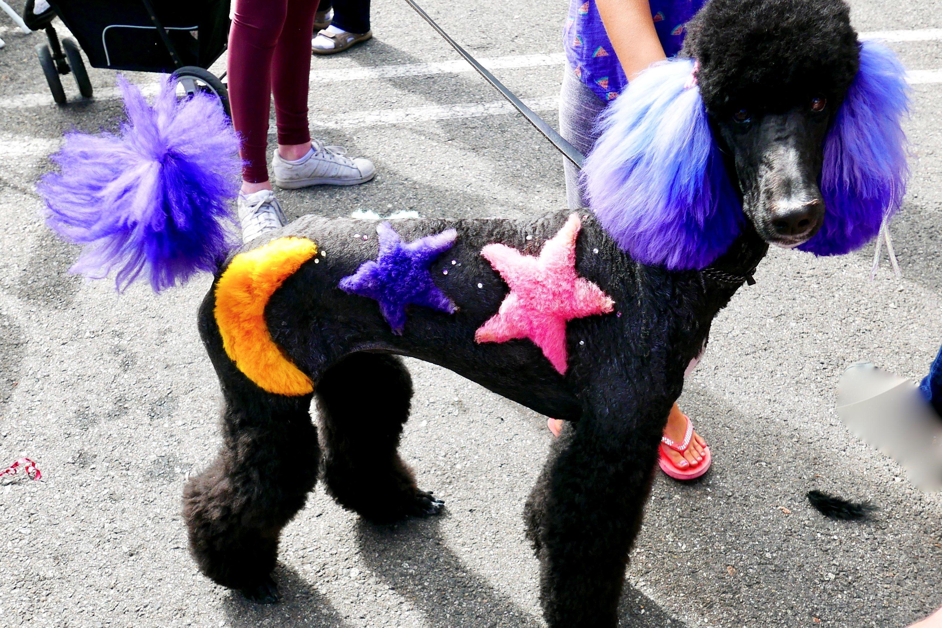 犬・カラーリング・毛染め・トリミング・プードル