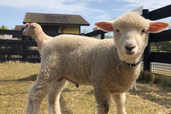 突然変異の羊に遭遇した動物園に衝撃 微笑ましい「忘れ物」に祝福の声相次ぐ