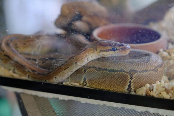 ペットのヘビが逃げ出しアパート敷地内に生息? 出没情報に隣人が震え上がる