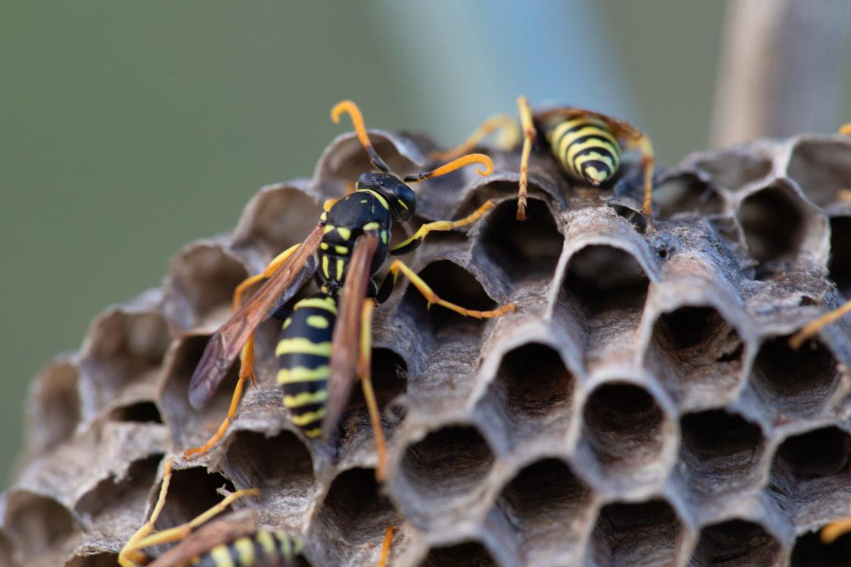 蜂・ハチ・巣・蜂の巣・ハチの巣