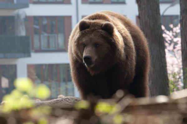 犬と散歩に出たまま帰らなかった女性 遺体の一部が熊の胃の中に…
