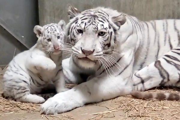 宇都宮動物園・ホワイトタイガー