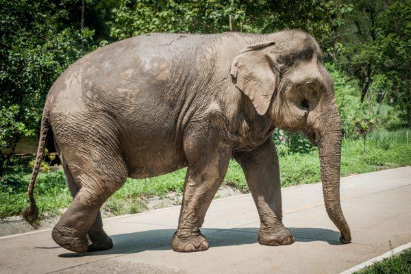 タイのゾウは日本のクマより強烈 食料ほしさに壁を壊して民家に侵入