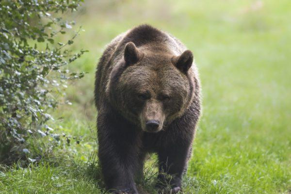 クマ・熊・ヒグマ