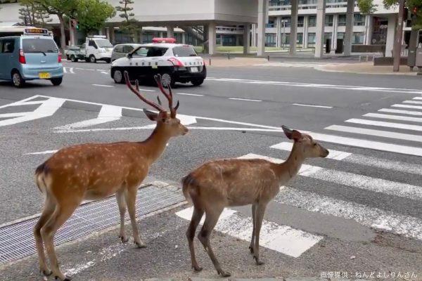 横断歩道を渡る鹿