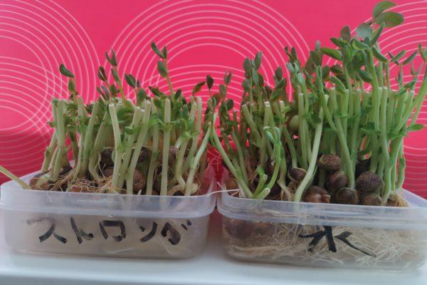 ストロングゼロで野菜は育つか検証した結果 「ストロング豆苗」はしっかり成長した