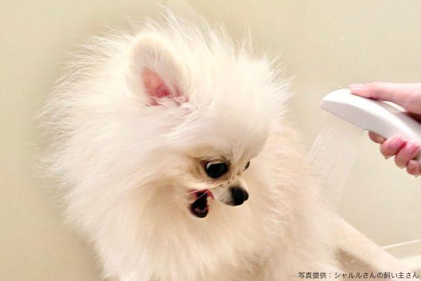 シャワーを嫌がる犬
