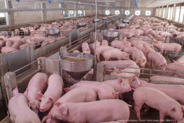 養豚場・豚