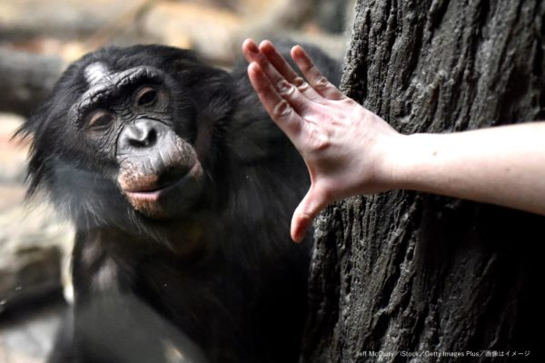 チンパンジー・動物園