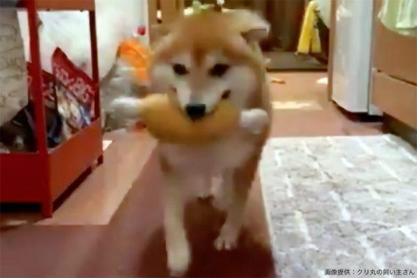 おもちゃで遊ぶ柴犬、飼い主に声をかけられた時のお利口すぎる行動が話題に