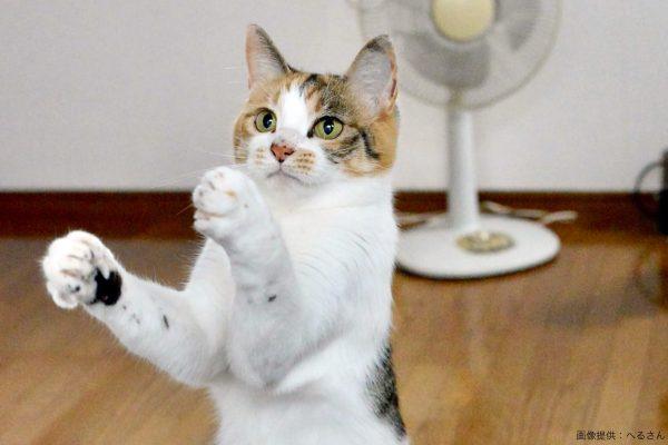 盆踊りのようなポーズの猫