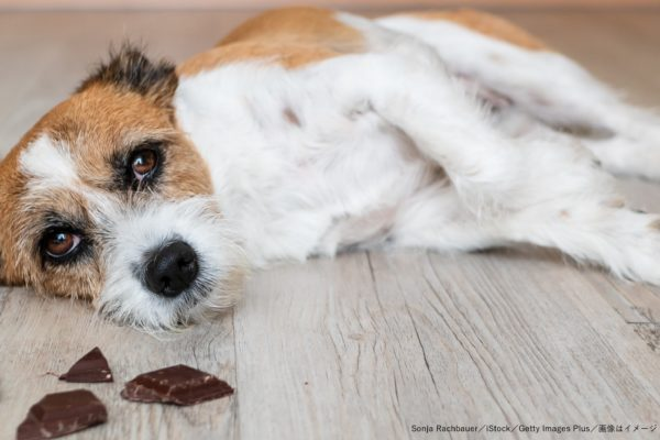 犬・チョコレート